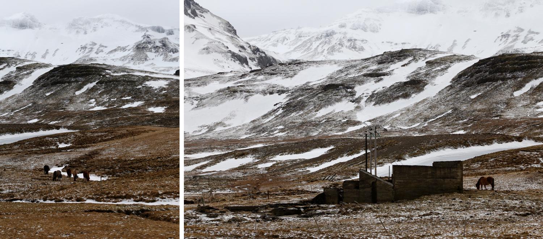 Unter der arktischen Sonne weiden sich Isländische Pferde an dem trockenen Gras, das die Natur zur Verfügung stellt. Verschneite Hügel im Hintergrund erzählen die Geschichte einer kargen Landschaft.